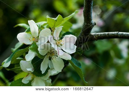Crab apple blossom, Irish apple blossom in spring.