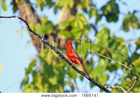 Male Northern Cardial perched on a