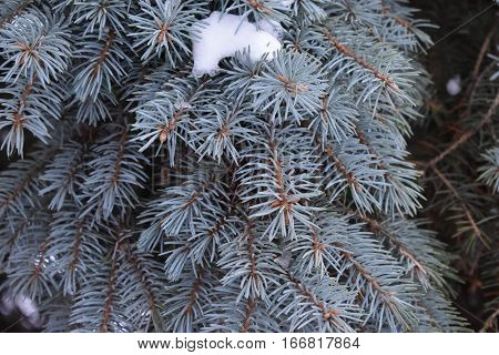 blue spruce fluffy , covered with fluffy pine needles