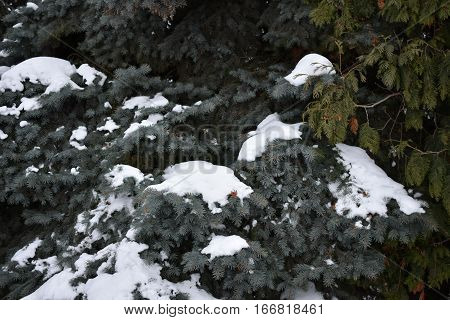 fluffy ate thickly strewn with pine cones, pine needles covered with fluffy snow