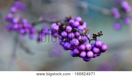 Close up of purple berries on a Winter morning