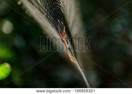Spiders(Argiope versicolor)-Spiders on webs in forest .