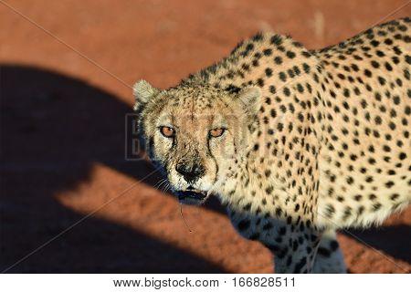 Wild Cheetah portrait In African Savannah at sunset time Namibia