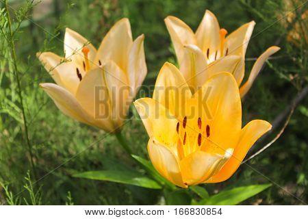 Beautiful orange lily growing in the garden