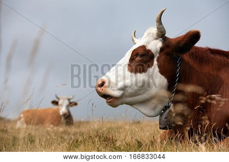 cow (bos primigenius taurus) on Dolomities Italy