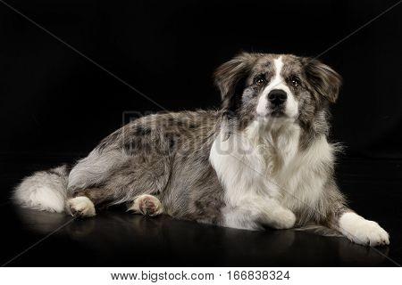 Studio Shot Of A Cute Border Collie Puppy