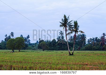 Isolated coconut tree with green trees background