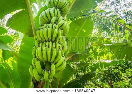 Giant Cavendish Banana Bunch On The Plantation