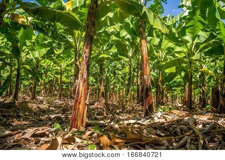 Banana Plantation Is East Africa