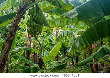 Closeup of giant cavendish banana bunch on the plantation poster