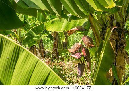 Closeup Of Banana Bunch On The Plantation