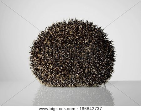 Taxidermy Hedgehog rolled in a ball on grey background