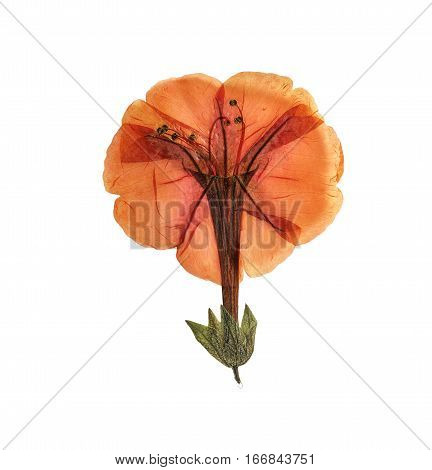 Pressed and dried delicate orange flowers Mirabilis jalapa. Isolated on white background. For use in scrapbooking pressed floristry (oshibana) or herbarium.