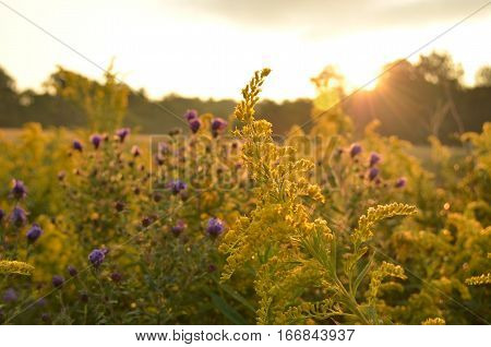 Sunrise over beautiful country field with goldenrod & roadside wildflowers