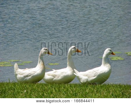 Three white ducks in a row on the lake shore