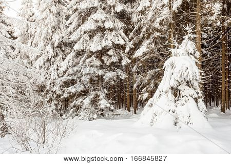 At Baraque Michel there are an lot of trees in the snow at the winter whit an path