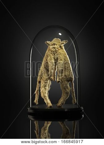Taxidermy siamese lambs in glass cabinet against black
