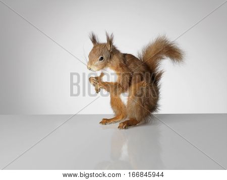 Taxidermy Red Squirrel on grey background and surface