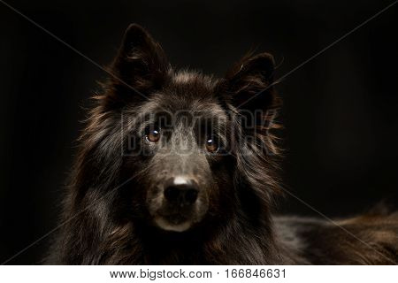 Studio Shot Of An Adorable Belgian Shepherd
