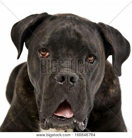 Portrait Of An Adorable Cane Corso