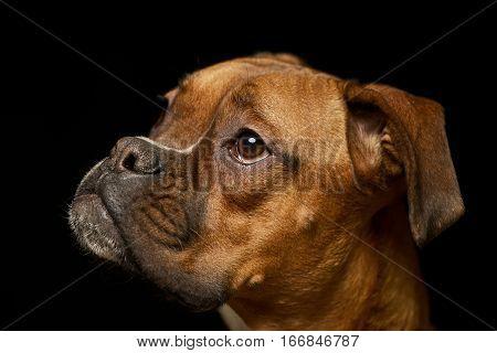 Portrait Of An Adorable Boxer Dog