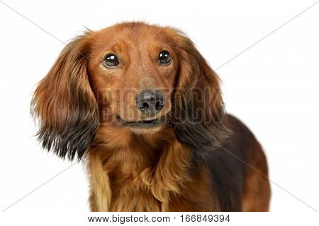 Portrait Of An Adorable Longhaired Dachshund