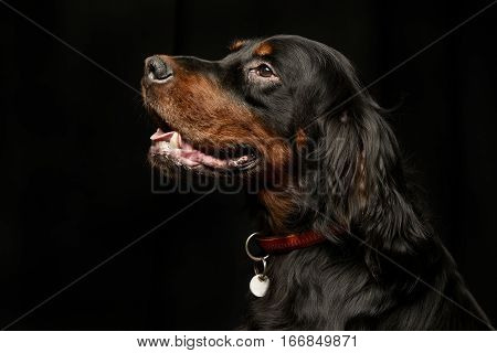 Portrait Of An Adorable Gordon Setter
