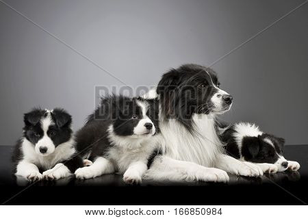 Studio Shot Of Three Cute Border Collie Puppy With Their Mother