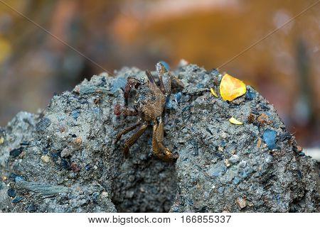 Tree Climbing Crab by mud burrow at Chet Jawa Wetlands in Pulau Ubin Singapore