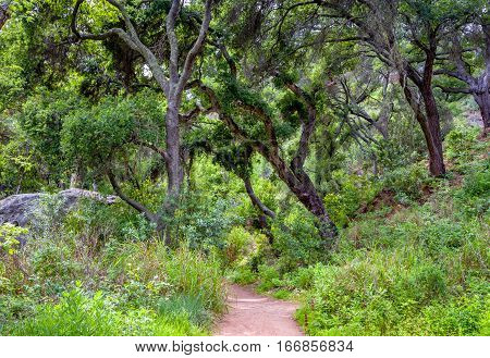 Wooded Path In Spring With Canopy Of Live Oak