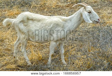 White male Billy Goat eating brush in the field.