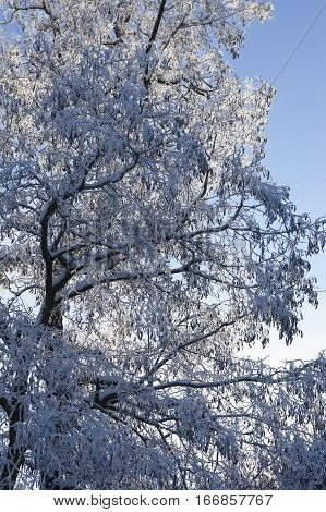 Tree covered in frost in Moscow Idaho.
