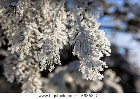 Pine boughs covered in hoar frost in Moscow Idaho.