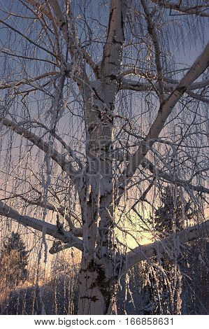 Tree with ice on branches in Moscow Idaho.