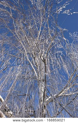 Looking up at frost covered tree in Moscow Idaho.