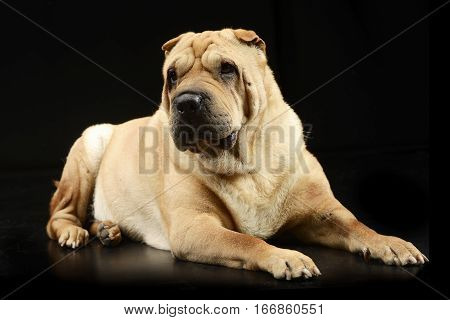 Studio Shot Of An Adorable Shar Pei Dog