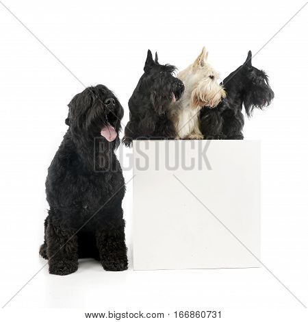 Studio Shot Of An Adorable Black Russian Terrier And Three Scottish Terrier
