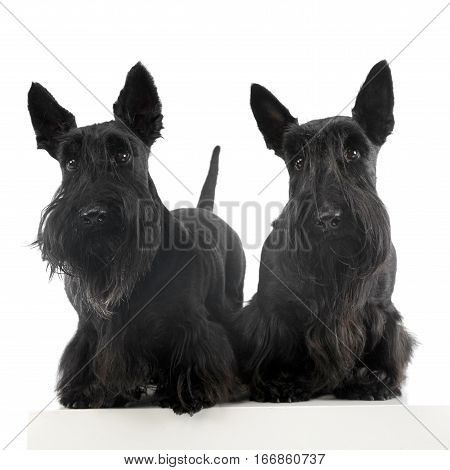 Studio Shot Of Two Adorable Scottish Terrier