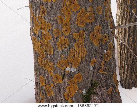 Yellow spots of a lichen on a poplar trunk