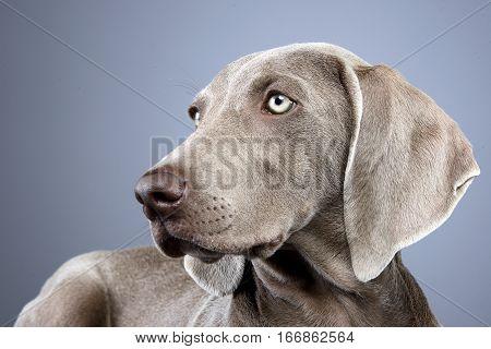 Portrait Of An Adorable Weimaraner Dog