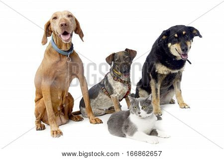 Studio Shot Of A Hungarian Vizsla, Two Mixed Breed Dog And A Cat