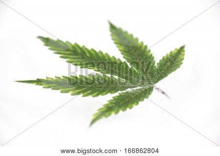 Macro detail of cannabis leaf with visible veins and partially underwater floating over white surface