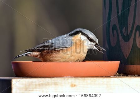 beautiful nuthatch with sunflower seed during winter birdwatching
