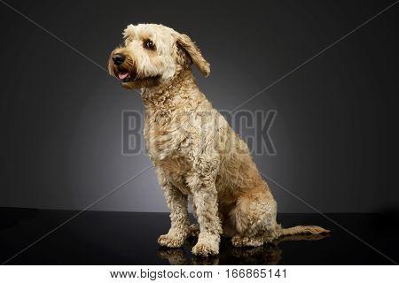Studio Shot Of An Adorable Bolognese Dog