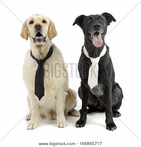 Studio Shot Of Two Adorable Mixed Breed Dog Wearing A Tie