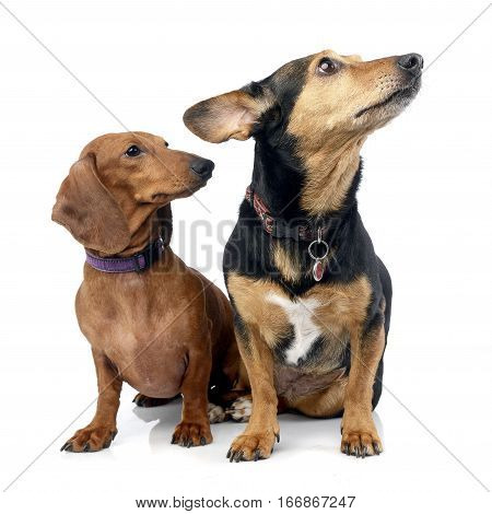 Studio Shot Of An Adorable Dachshund With A Mixed Breed Dog