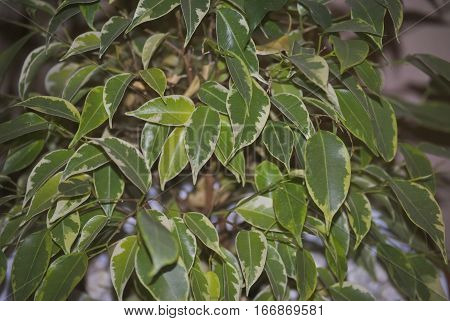 Two-color leaves of Ficus benjamina, or weeping fig.
