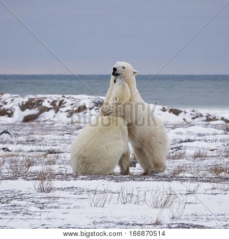 Two polar bears sparring on the coast of the Hudson Bay in Churchill, Manitoba, Canada.