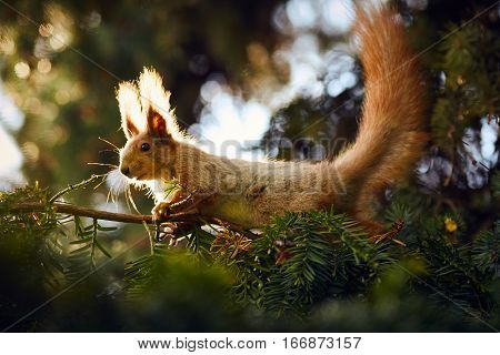 Portrait of squirrel. Squirrel sit on pine branch. Wildlife