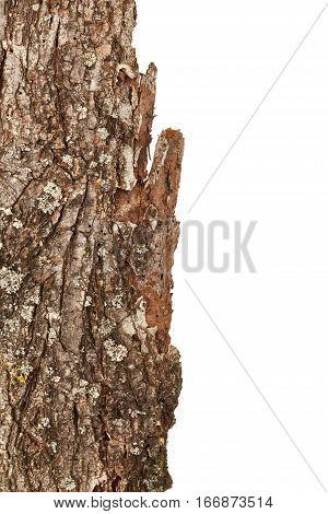 Bark tree isolated on the white background